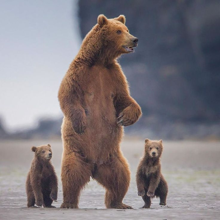 Mom on alert. There's probably a male nearby and she wants to protect her cubs.