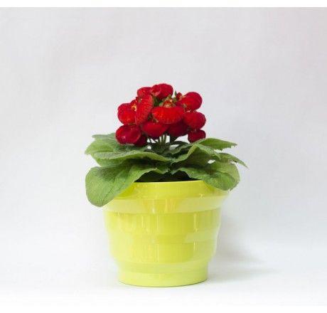 Planta Calceolaria Roja