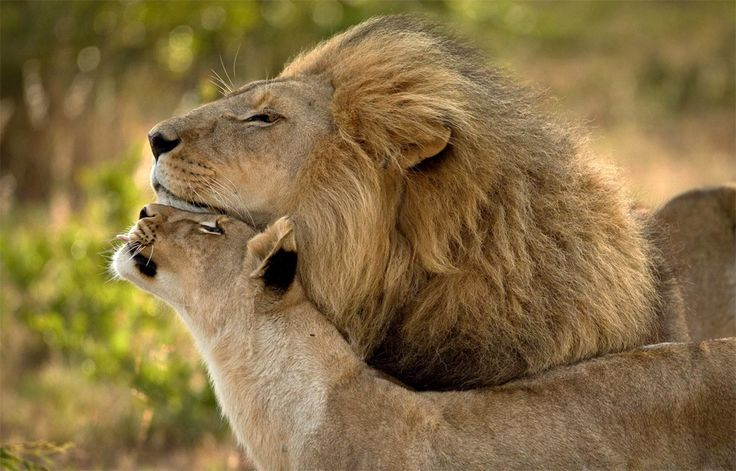Lions In Love  By Carole Deschuymere - what an amazing photo <3