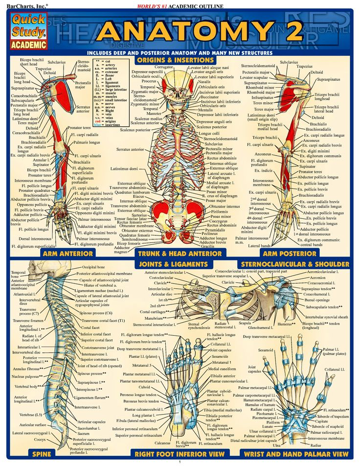 46 best Anatomy images on Pinterest | Anatomy and physiology, Human ...