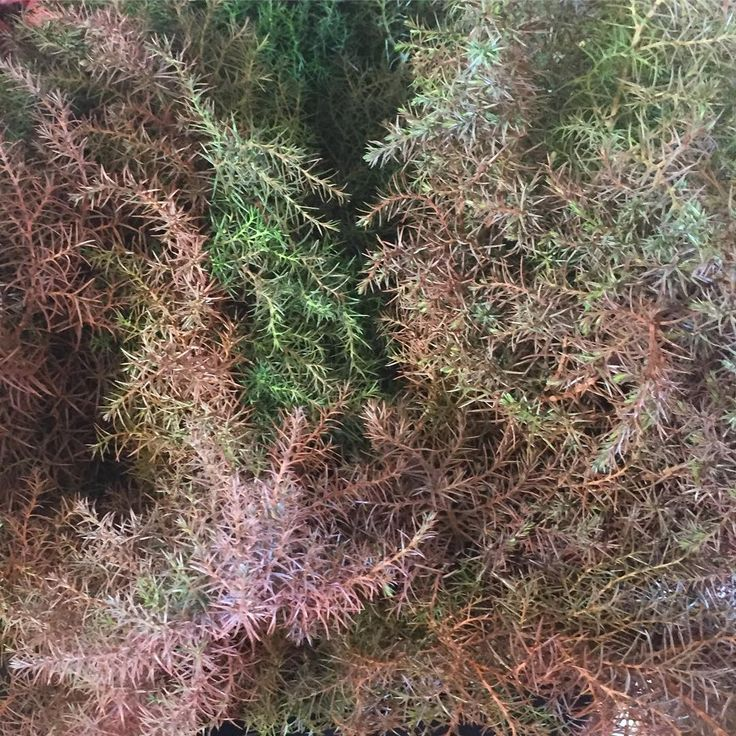 We are really digging this Cryptomeria foliage! Perfect if you are looking for something different 💜 #florabundanceinc #americangrownflowers #cryptomeriafordays #foliage #happymonday