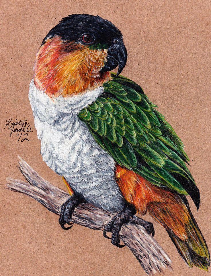 Colored Pencil - Commission - Black-Headed Caique by KristynJanelle.deviantart.com on @DeviantArt