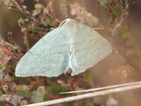 Pseudoterpna pruinata: the grass emerald moth | The Nature of Dorset