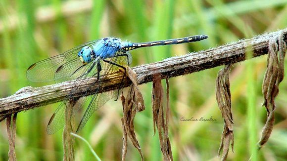 Dragonfly- Caroline Brooker