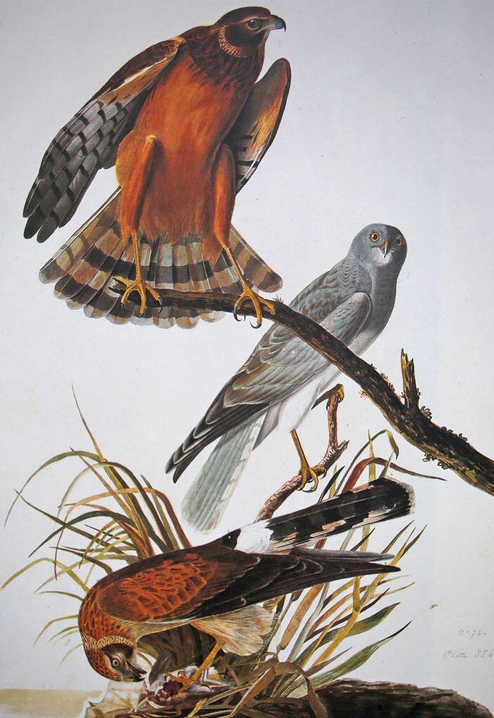 Circus cyaneus / Blauwe kiekendief / Northern hawk Mannetjes zijn van boven opvallend licht blauwgrijs gekleurd met zwarte vleugelpunten. De witte stuit is bij mannetjes en vrouwtjes opvallend. Vrouwtjes zijn bruin en hebben enkele zwarte banden over de staart en ondervleugels. De blauwe kiekendief is veel minder slank dan de verwante grauwe kiekendief. Het mannetje is in de vlucht te onderscheiden van de grauwe kiekendief door de witte stuit en het ontbreken van een zwarte band over de…