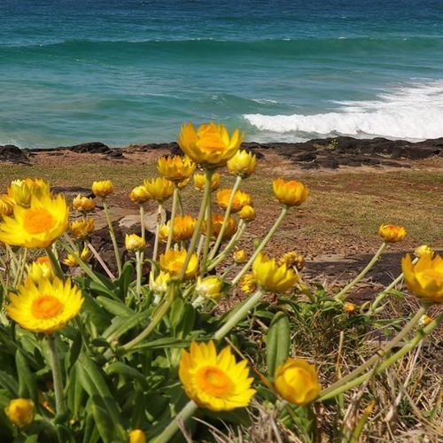 So many paper daisies up on the headland at #fingalhead at the moment