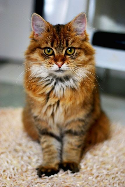 Five Interesting Facts About Maine Coon Cats  This kitty is Gorgeous!!!❤️❤️ kitties!