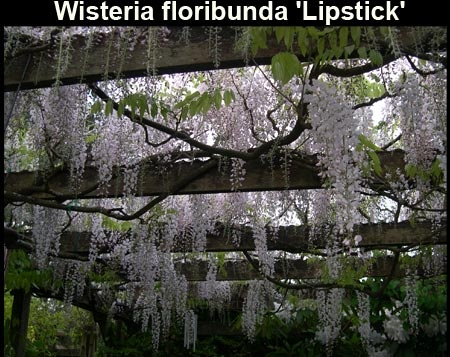 how to get wisteria to bloom