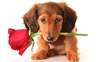 A Dachshund Pup With A Red Rose Between His Teeth