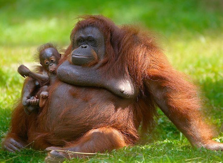 OMG big Orang Utan and Baby - super cute