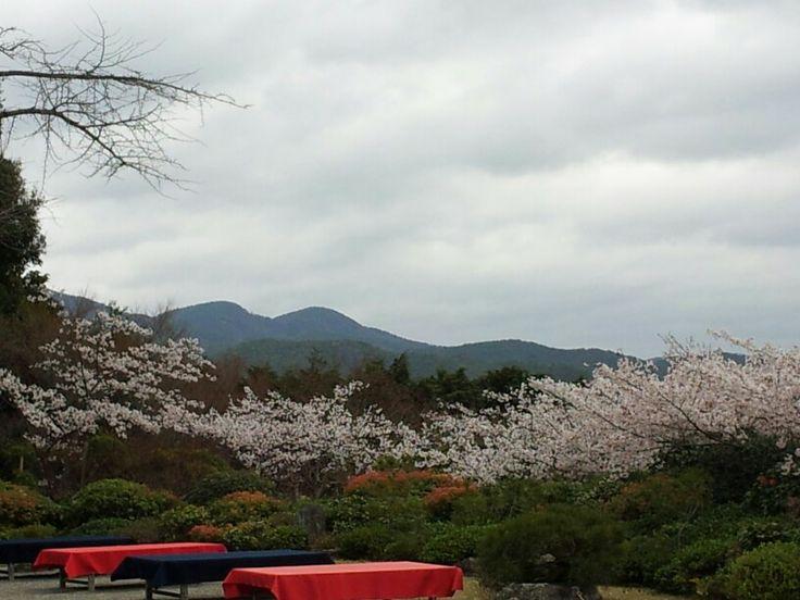 sakura in arashimaya garden kyoto japan
