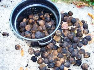 A Collection of Walnuts - Photo by Steve Nix, Licensed to About.com