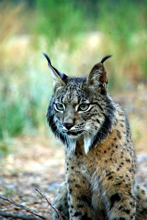 Iberian Lynx, involved in the ongoing breeding program to prevent the extinction of this critically endangered cat.