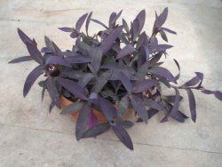 Tradescantia pallida - Purple Heart Plant Care Tips