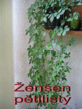Ženšen pětilistý - Jiaogulan (Gynostemma pentphyllum)