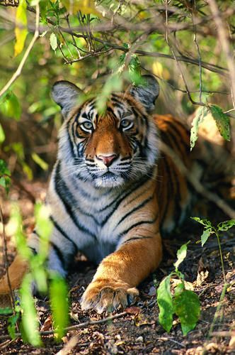 Tiger Counts Increases in India with efforts of Wildlife Conservation Society