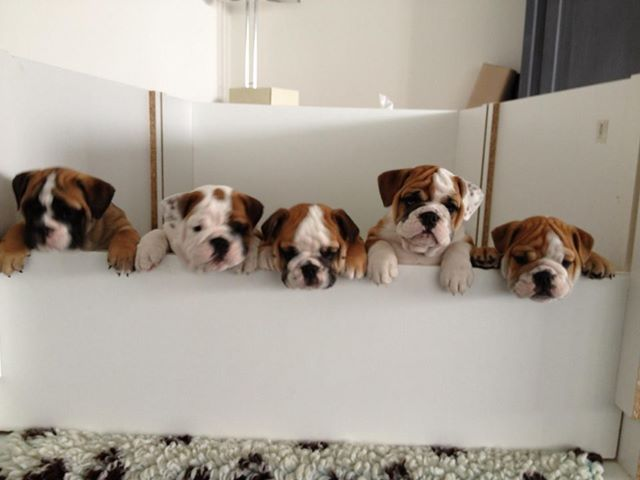 English Bulldog puppies ~ Baggy Bulldogs