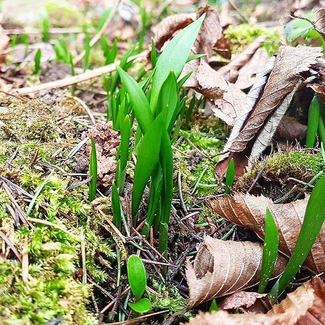 Wild garlic the first signs of spring!  Wer liebt den Bärlauch auch so sehr? Gerade habe ich die ersten Sprösslinge gefunden. Nur schade dass es hier nächste Woche so richtig kalt werden soll... #bärlauch #wildgarlic #ramson #frühling #spring #natur #grün #kochen #cakescookiesandmore #schweizerfoodblog #swissfoodblogger #ftühlingsküche #schweizerküche