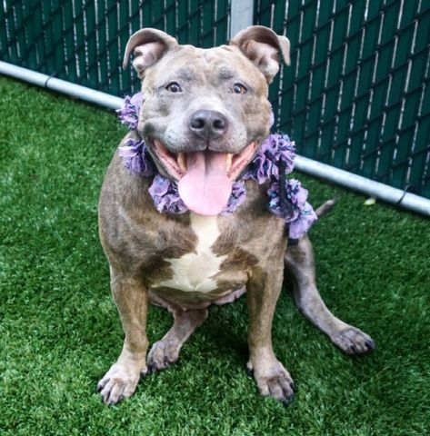 DARLA aka BELLA aka SARABI - 14197 (ALT ID - A0980619) - - Manhattan  TO BE DESTROYED 11/29/17 A volunteer writes: Darlin' Darla was brought to us by her finder. One might wonder what a proper middle-aged dame was doing alone in the street… Darla is Rubenesque at 91 pounds, and if it was not for her large smile and bright eyes, she might impress by her size. Darla would not hurt a fly. She is a good gal who likes life, people and food…a typical family dog.