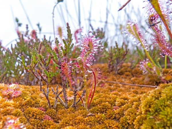 Great sundew (Drosera anglica) and heather (Calluna vulgaris) growing through a carpet of ginger-biscuit Sphagnum fuscum bog moss, Munsary Peatlands Reserve, Caithness, Scotland.