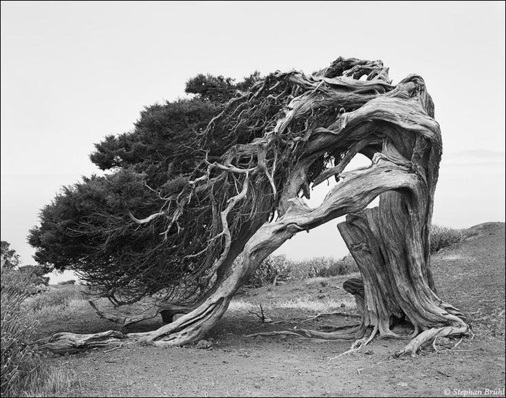 Very old windswept tree - Isla de El Hierro / Canary Islands -El Hierro Tree at El Sabinar 1991