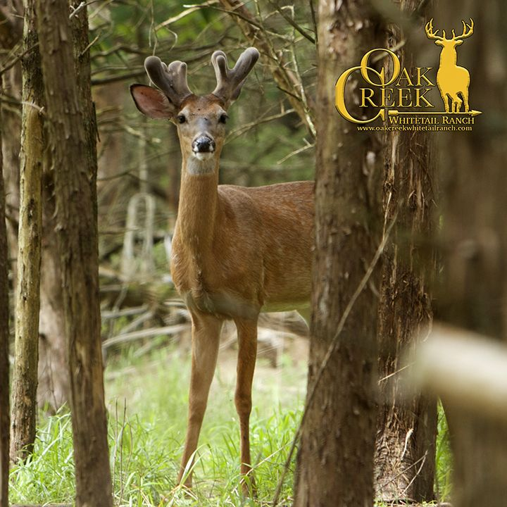We saw this great young buck out on the main ranch. #velvetbucks #bigbuck #whitetaildeer #wildlife #deer #biggame #hunting #beautiful #great #outdoors #bowhunting #whatgetsyououtdoors #huntinggear #spypointtrailcam