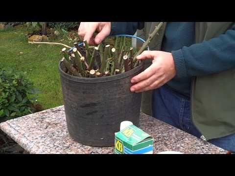 3 métodos para plantar esquejes de rosa: patatas, hidroponía o sustrato | Plantas