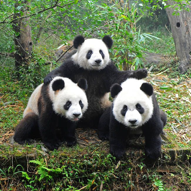 One Panda usually requires about 4 square miles of space in order to survive comfortably.