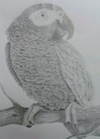 African grey parrot Print by ArtLover1980