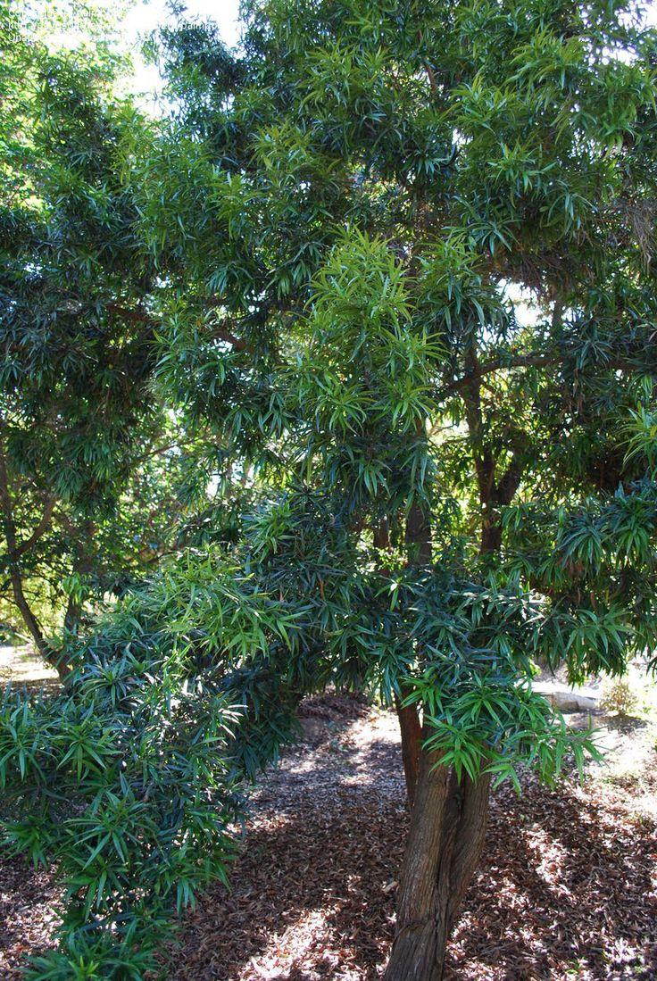 Plum Pine, Brown Pine Podocarpus elatus. over 10m