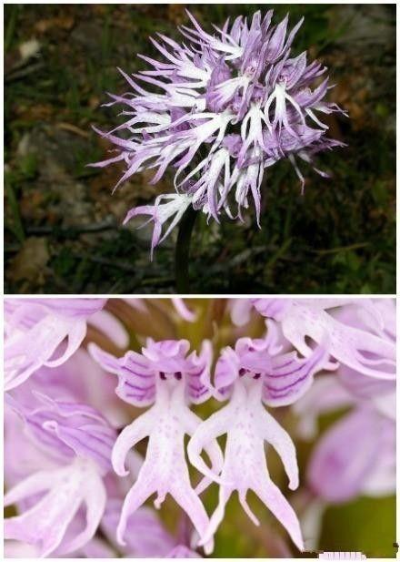 Naked Man Orchid: Orchis Italica...LOL they kinda look like oompa loompas hahaha