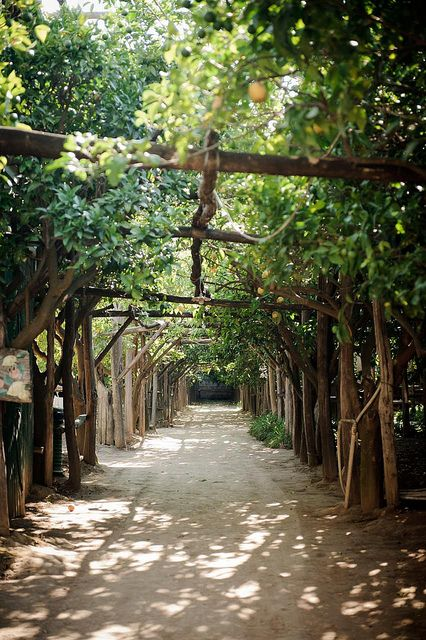 Lemon grove in Sorrento, Campania, Italy.  Go to www.YourTravelVideos.com or just click on photo for home videos and much more on sites like this.