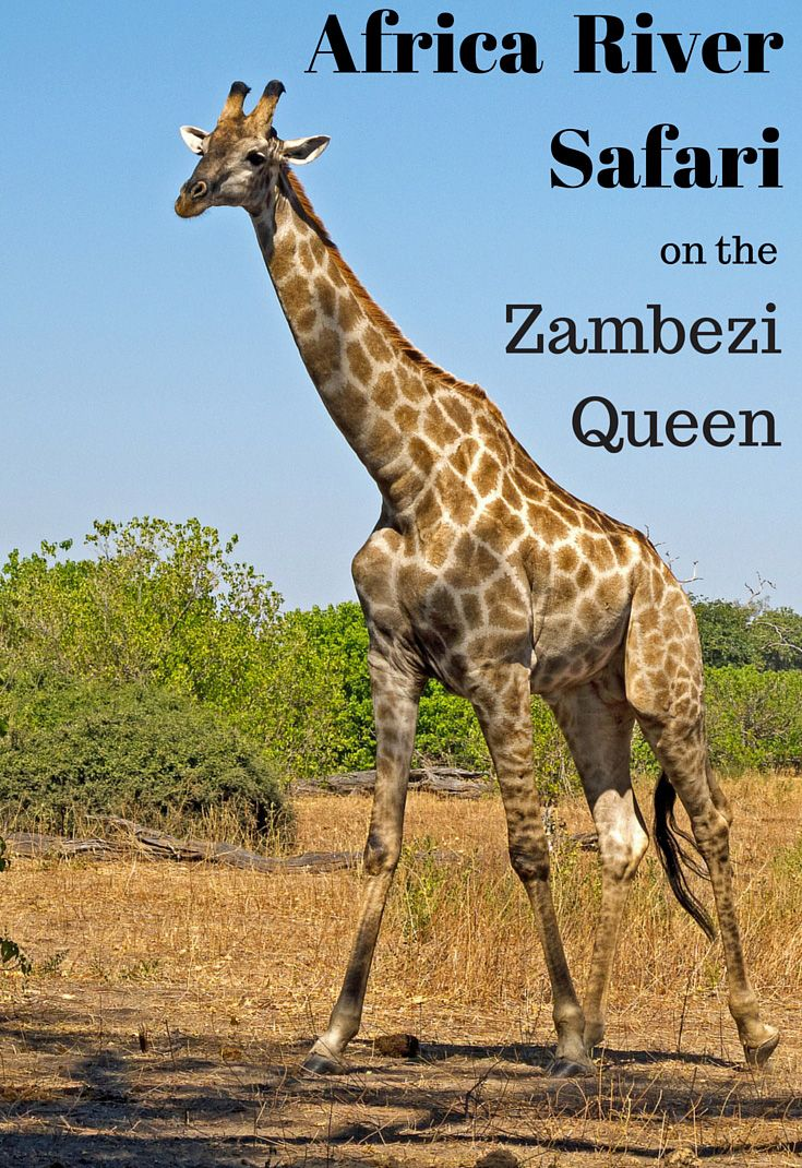 """Float down the Chobe River on the elegant """"Zambezi Queen"""" riverboat, and you'll see giraffes, hippos and scores of elephants! Read about our African river safari here: http://www.sandinmysuitcase.com/zambezi-queen-river-safari/"""