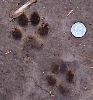pocket guide to ma animal tracks