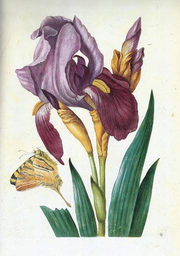 Maria Sibylla Merian, Iris germanica L., Bearded Iris, late seventeenth century.
