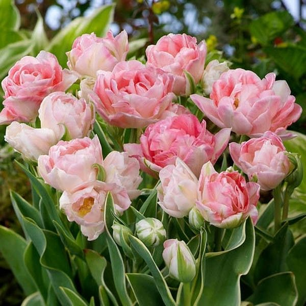 25 MIXED PARROT TULIPS BULBS ☆ Spring Flowering ☆ PREMIUM QUALITY NOW IN STOCK
