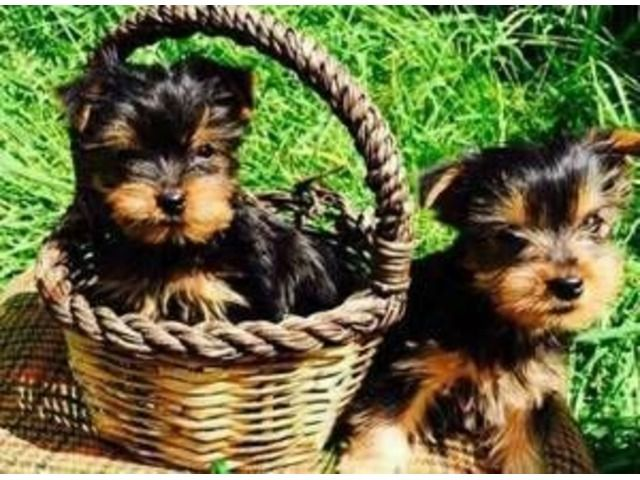 Rehoming Sweet 12 Weeks Yorkie Puppies Animals Pinterest
