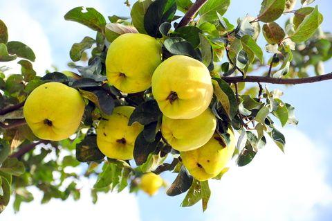 Preparate cu gutui. Află 4 moduri delicioase în care te poți bucura de gutui! http://www.raureni.ro/blog/4-moduri-delicioase-care-te-poti-bucura-de-gutui/