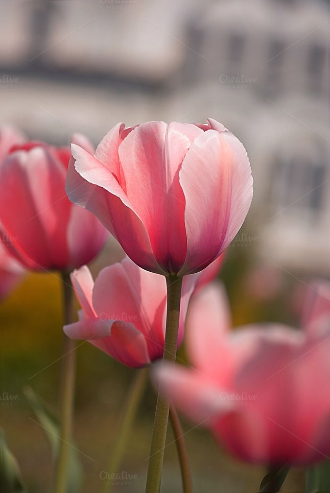 Check out Pink tulips by NikSorl on Creative Market