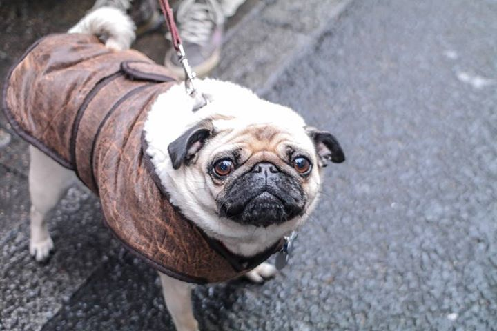 The KYON look from a very stylish friend  #pug #kyonnaturaldogfood #thekyonlook