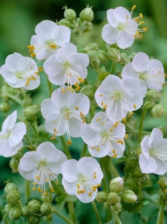 25 best ideas about geranium macrorrhizum on pinterest perennial geranium cranesbill. Black Bedroom Furniture Sets. Home Design Ideas