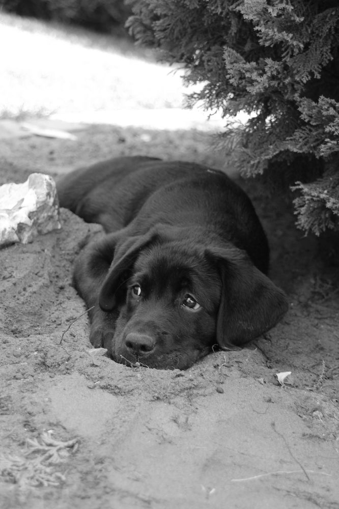 Labrador Vivi http://fc-foto.de/32677810