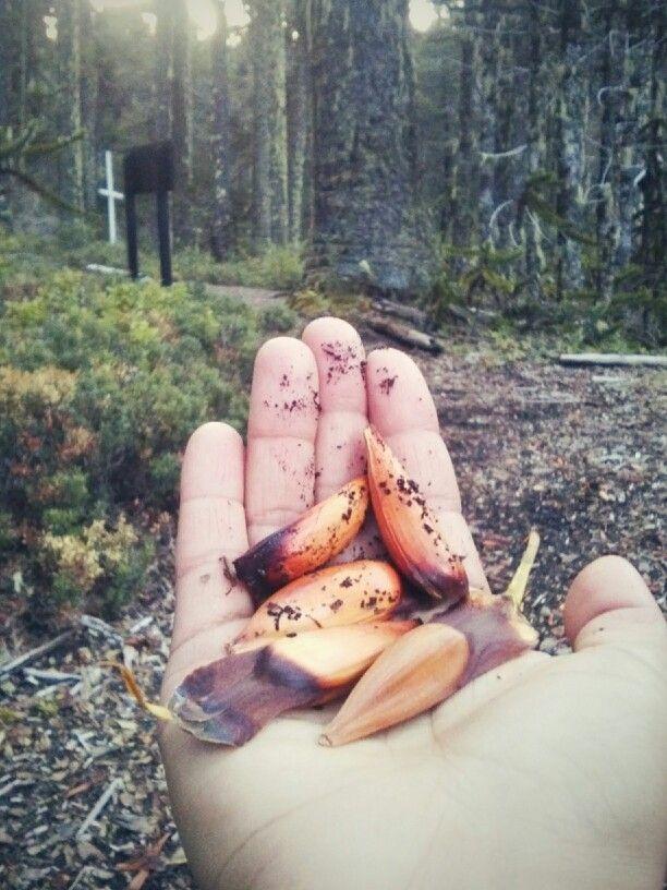 Piñones. Bosque de Araucarias