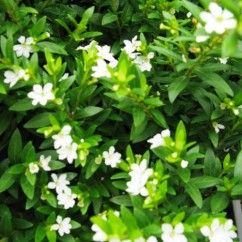 Cuphea hyssopifolia white is well suited to containers and garden borders, cute white flowers!