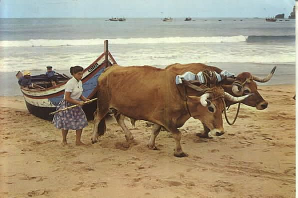 Lady, Oxen Ox Team Boat Nazare Portugal