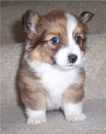 Long haired corgi!!!!