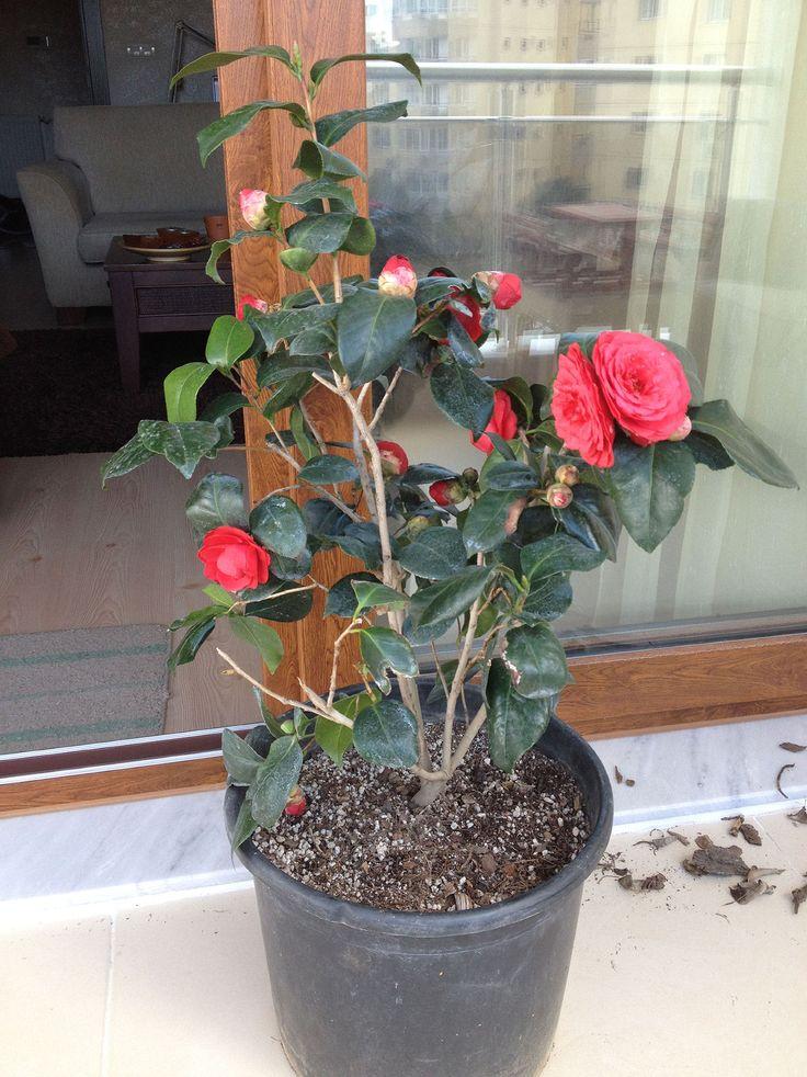 Camellia..... My on the balcony Balkonumda dünyamı şenlendirdi bu kırmızı kamelya :))