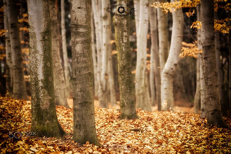 Beech forest - null