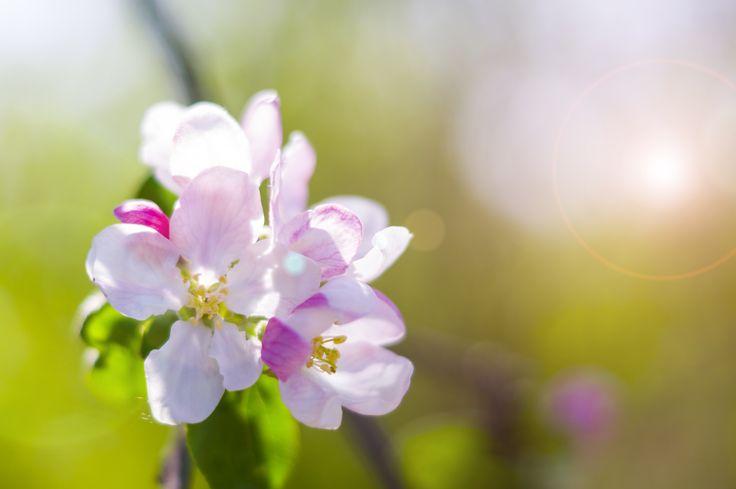 flower, цветок, весна, яблоня цветет