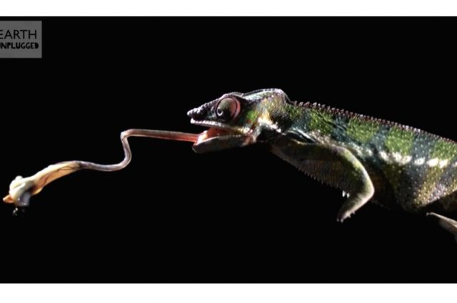 Chameleon Tongue Attack Captured In Slow Motion | IFLScience